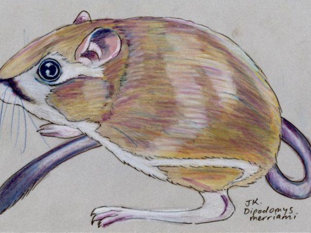 Mammal Olympiad: Long Jump: Merriam's Kangaroo Rat (Dipodomys merriami)