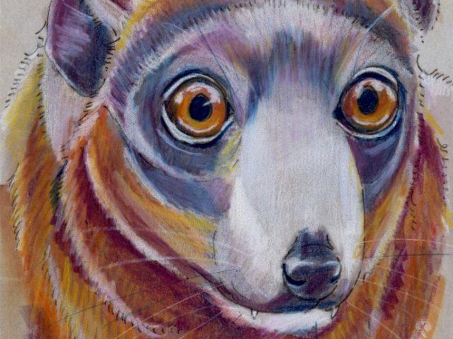 Random Week: Mongoose Lemur (Eulemur mongoz)