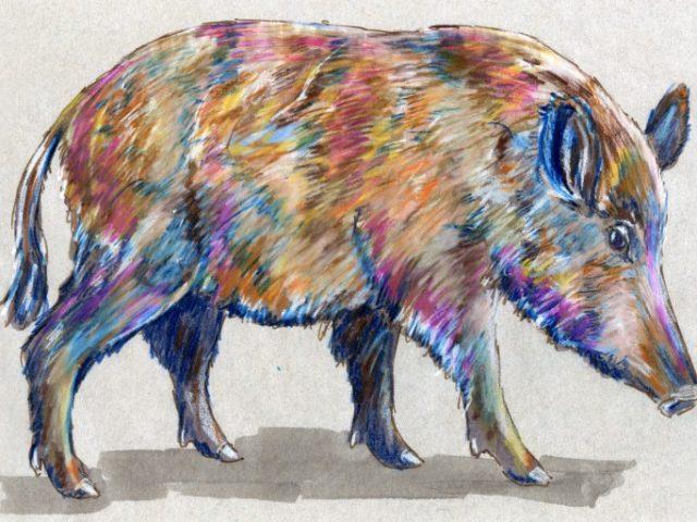North Carolina Week: European Wild Boar (Sus scrofa)