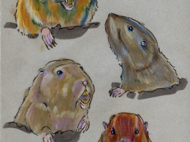 Pocket Gophers Four Ways (Geomys and Thomomys spp.)