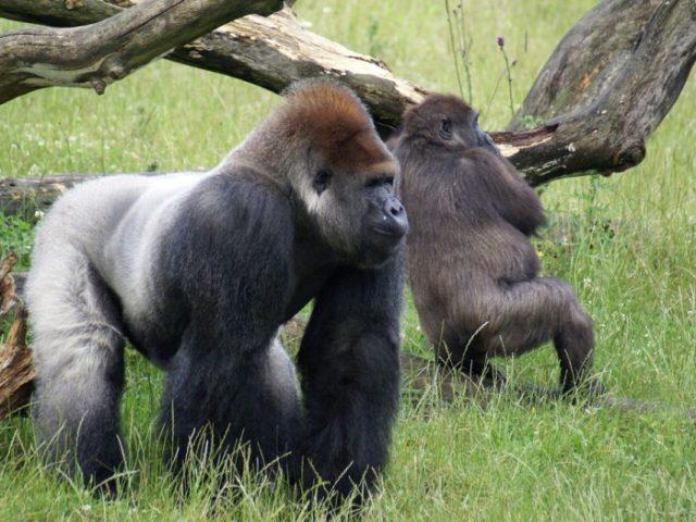 Mammal News Roundup: Goodness Gracious! Great Gorilla Gorilla Gorillas!