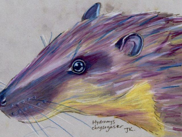 Random Week: Rakali (Hydromys chrysogaster)