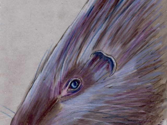 Random Week: Indian Crested Porcupine (Hystrix indica)