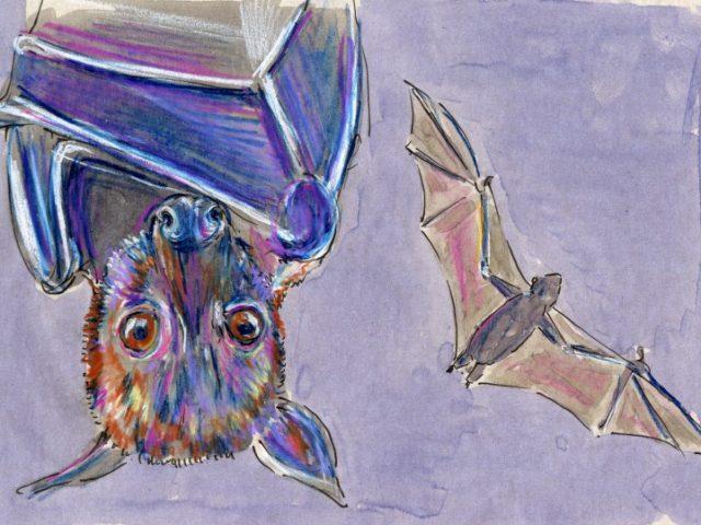Large Flying Fox (Pteropus vampyrus)