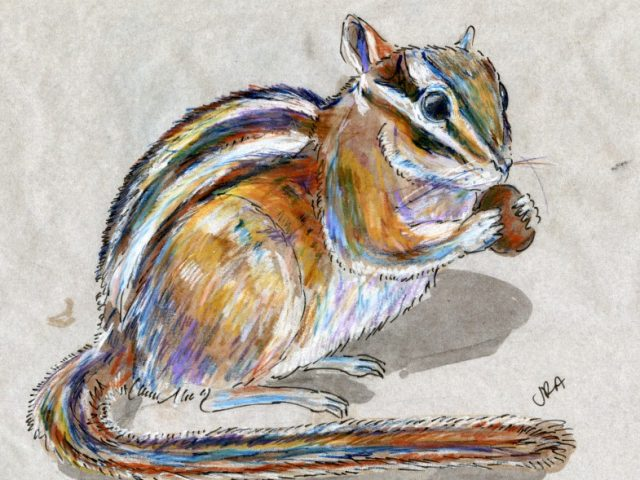 Mammalthon 2: Least Chipmunk (Tamias minimus)