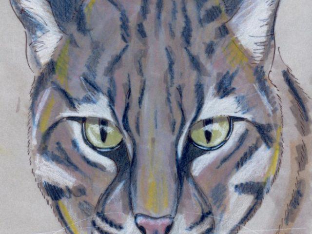 Geoffroy Week: Geoffroy's Cat (Leopardus geoffroyi)