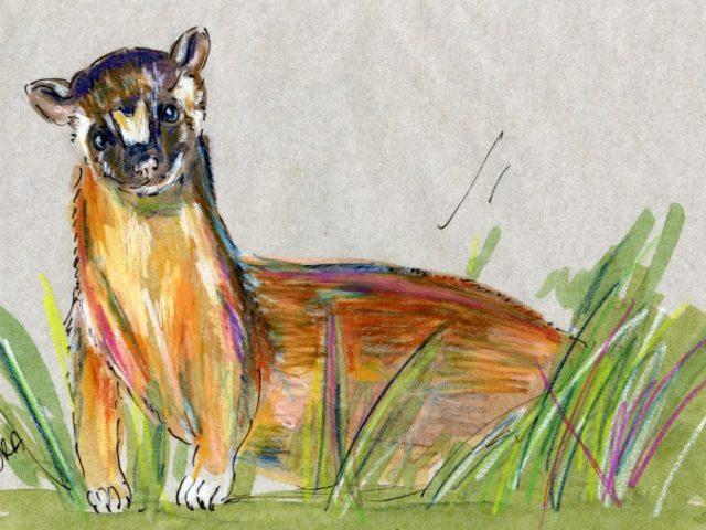 Mammalthon 2: Long-Tailed Weasel (Mustela frenata)