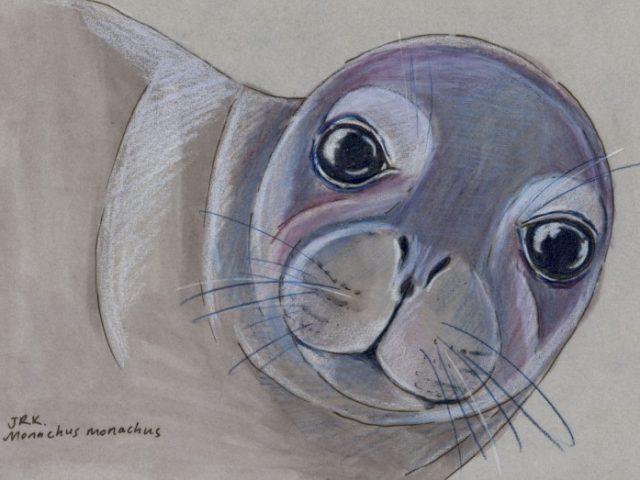 Facebook Friends: Greece: Mediterranean Monk Seal (Monachus monachus)