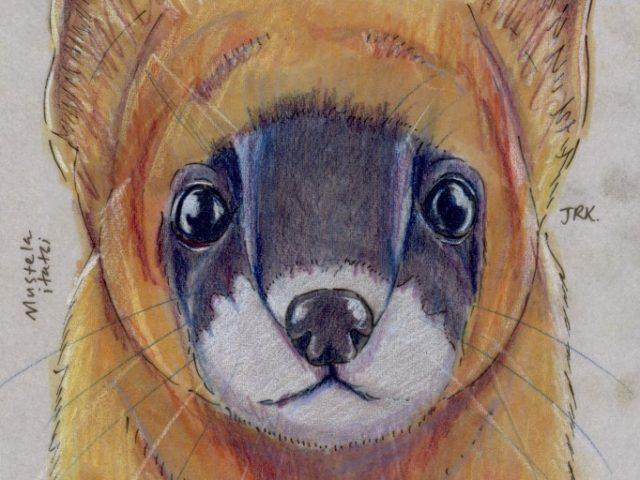 Facebook Friends: Japan: Japanese Weasel (Mustela itatsi)