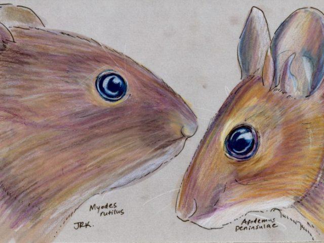 Primorye Week: Two Rodents (Myodes rutilus and Apodemus peninsulae)