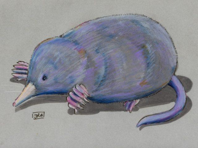 American Shrew Mole (Neurotrichus gibbsii)