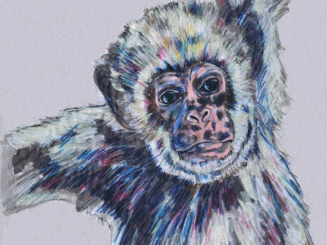 Northern Muriqui (Woolly Spider Monkey) (Brachyteles hypoxanthus)