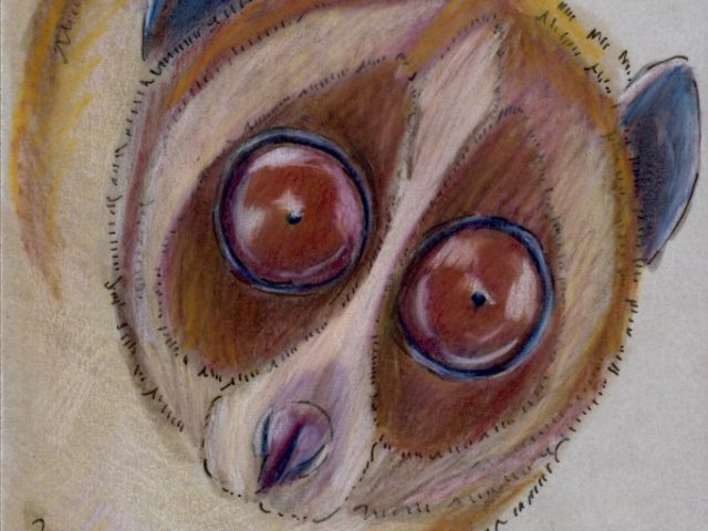 Greater Slow Loris (Nycticebus coucang)