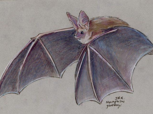 Geoffroy Week: Lesser Long-Eared Bat (Nyctophilus geoffroyi)