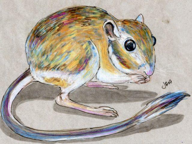 Mammalthon 2: Ord's Kangaroo Rat (Dipodomys ordii)