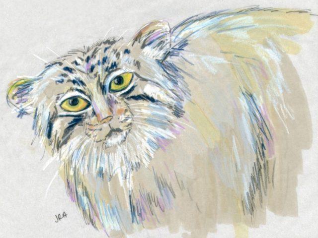 Pallas Cat (Felis manul)