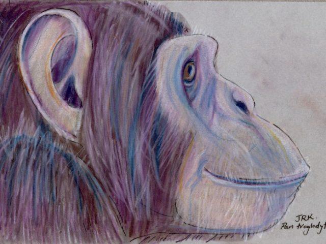 Repeat: Common Chimpanzee (Pan troglodytes)