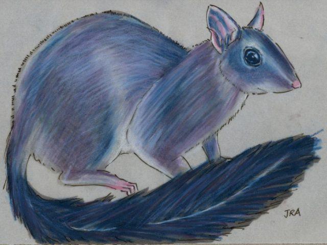 Brush-tailed Phascogale (Phascogale tapoatafa)