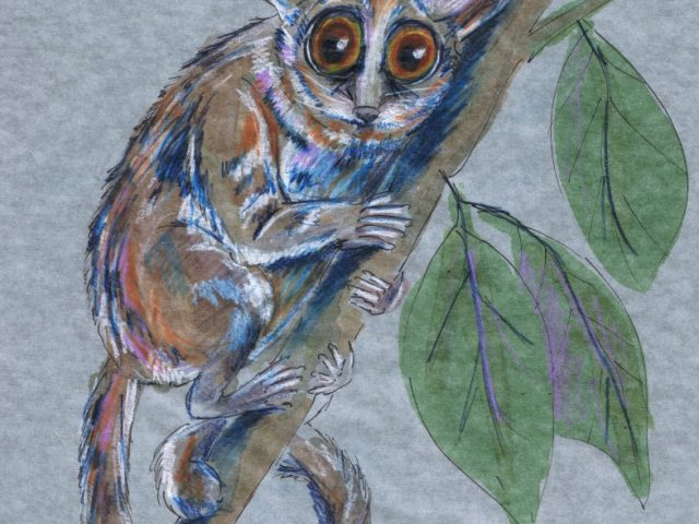 Nocturnal Week: Pygmy Mouse Lemur (Microcebus myoxinus)