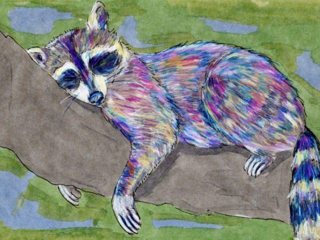 Mammalthon 2: Raccoon (Procyon lotor)