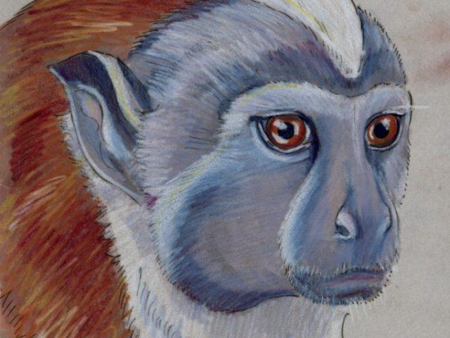 Geoffroy Week: Rufous-naped Tamarin (Saguinus geoffroyi)