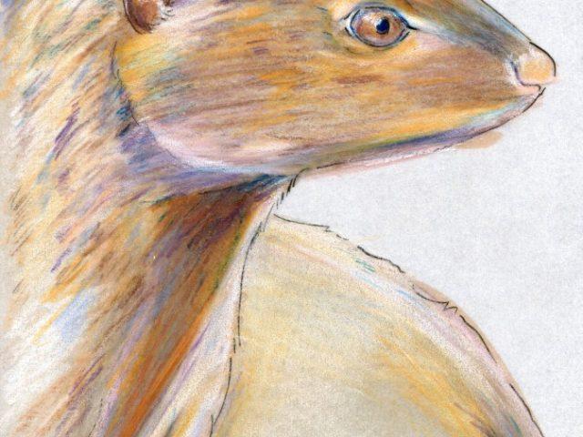 Mammals of Hawaii Week: Small Asian Mongoose (Herpestes javanicus)