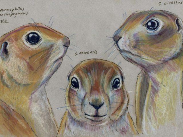 Facebook Friends: Turkey: Trio of Ground Squirrels (Spermophilus spp.)