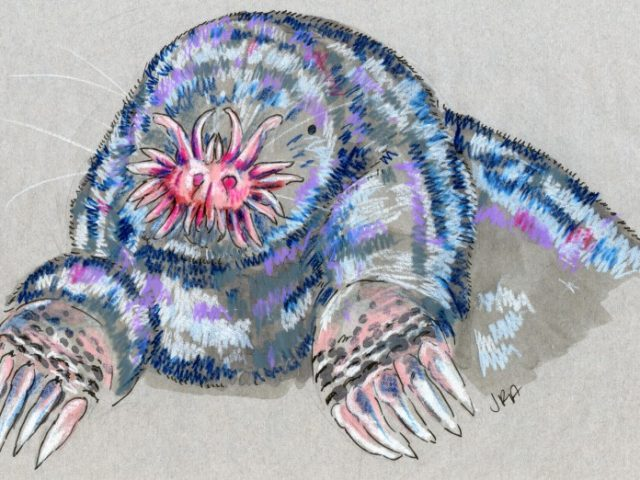 North Carolina Week: Star-Nosed Mole (Condylura cristata)