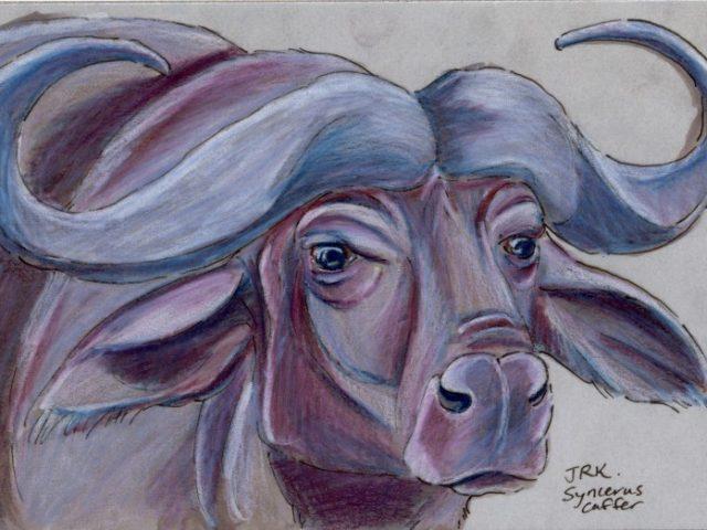 African Buffalo (Syncerus caffer)