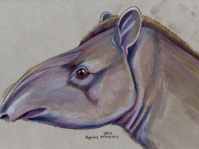 Facebook Friends: Brazil: Brazilian Tapir (Tapirus terrestris)