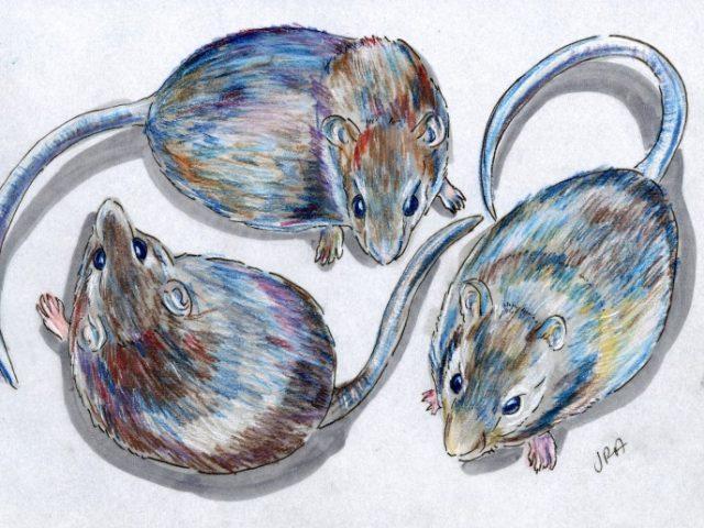 Rats Three Ways (Rattus lutreolus, Rattus fuscipes, Oryzomys palustris)
