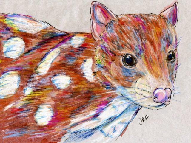 Mammalthon 2: Spotted-Tailed Quoll (Dasyurus maculatus)