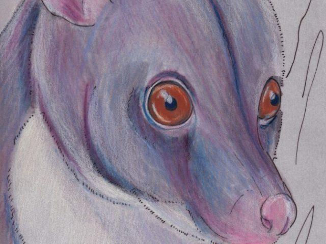 Short-eared Brushtail Possum (Trichosurus caninus)