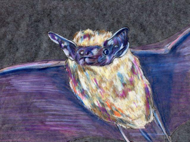 Mammalthon 2: Western Pipistrelle (Pipistrellus hesperus)