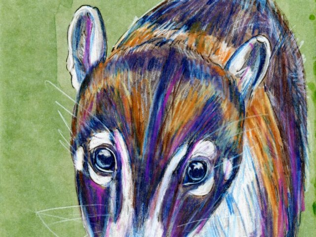 Mammalthon 2: White-Nosed Coati (Nasua narica)
