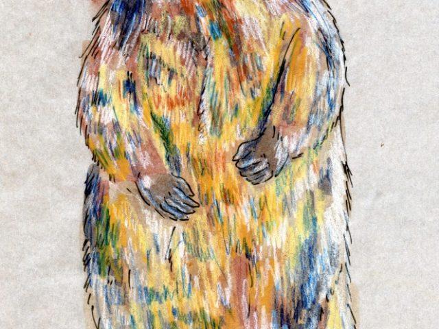 Mammalthon 2: Yellow-Bellied Marmot (Marmota flaviventris)